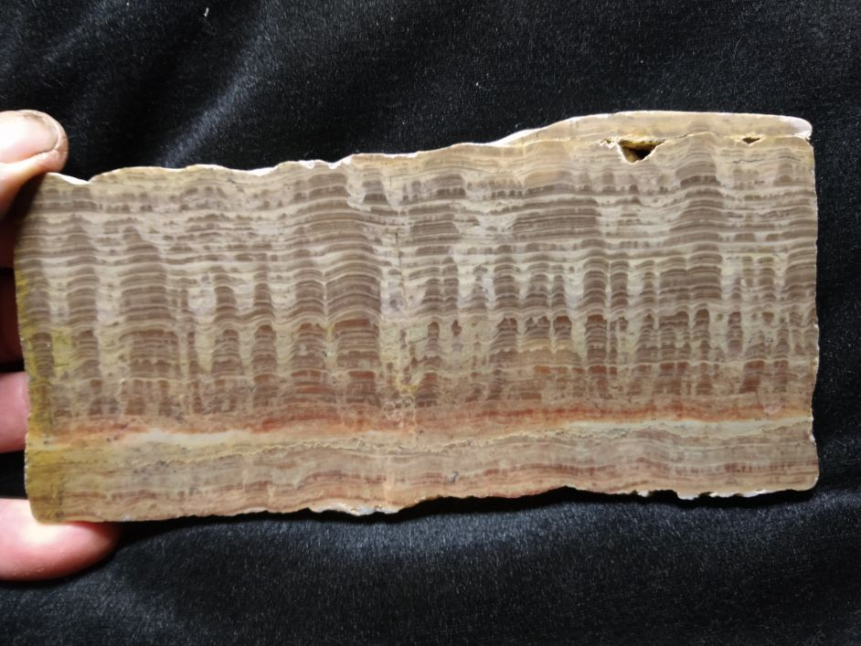 Polished fossil stromatolite. Pseudogymnosolenid type. DOG164