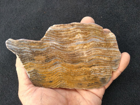 Polished fossil stromatolite. Strelley Pool Formation SPF118