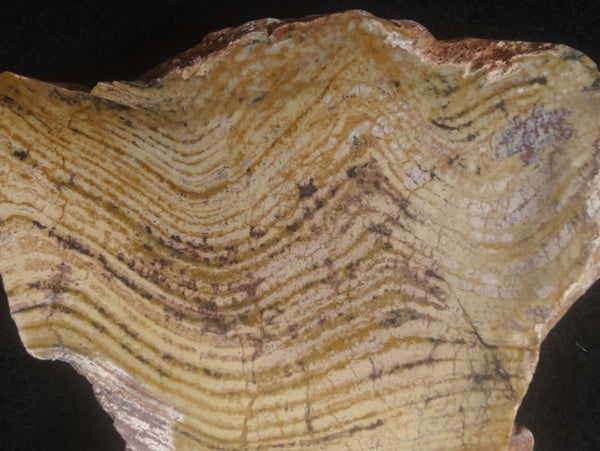 Polished fossil stromatolite. Strelley Pool Formation SPF122