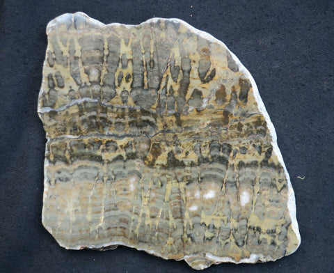 Polished fossil stromatolite slab. Yelma digitata.    YD103.