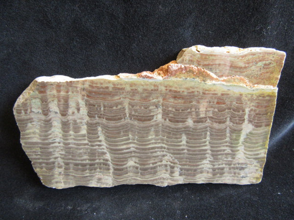 Polished fossil stromatolite. Pseudogymnosolenid type. DOG150