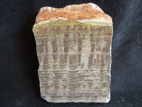 Polished fossil stromatolite. Pseudogymnosolenid type. DOG152
