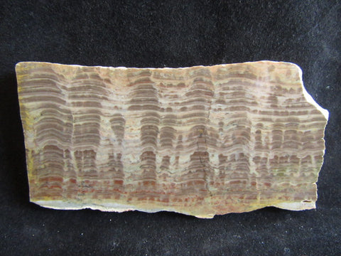 Polished fossil stromatolite. Pseudogymnosolenid type. DOG151