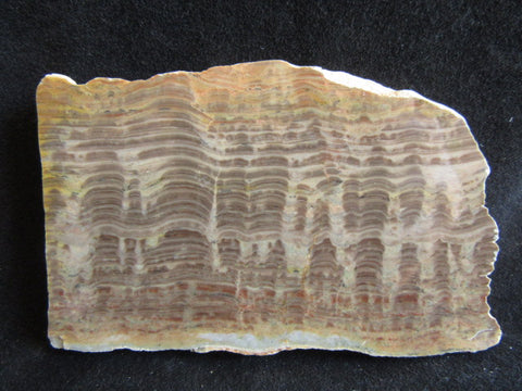Polished fossil stromatolite. Pseudogymnosolenid type. DOG154