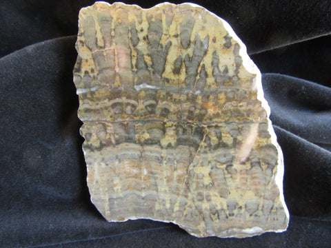 Polished fossil stromatolite. Yelma digitata YD104
