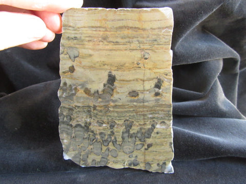 Polished fossil stromatolite. Yelma digitata YD105