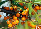 Sea Buckthorn Oil for Better Skin