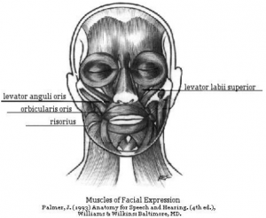 TalkTools | diagram of facial muscles