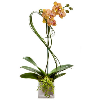 Novelty Orchid Plant