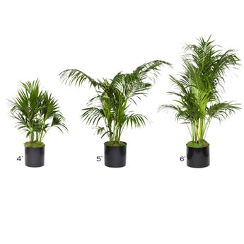 Palm Tree plants