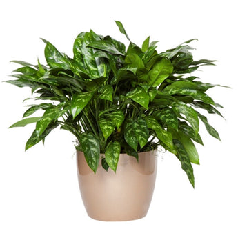 Aglaonema Plant - Upgraded