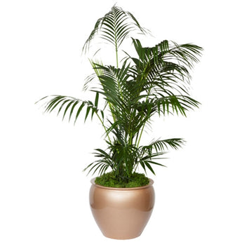 Palm tree  - Upgraded plant