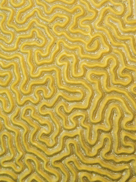 Diploria Strigosa Pattern