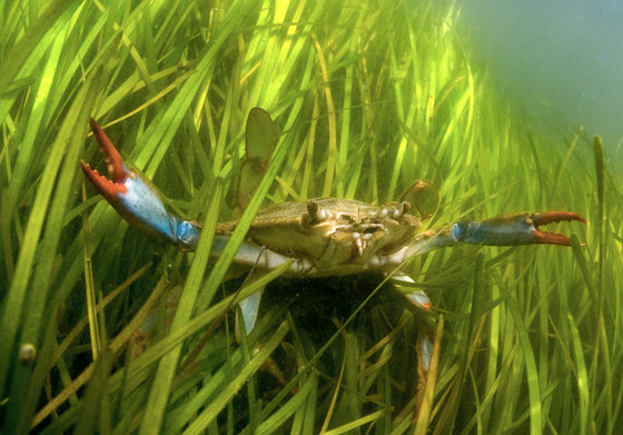 Print - Jay Fleming - Chesapeake Bay Blue Crab
