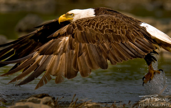 Jay Fleming - Chesapeake Bay Bald Eagle