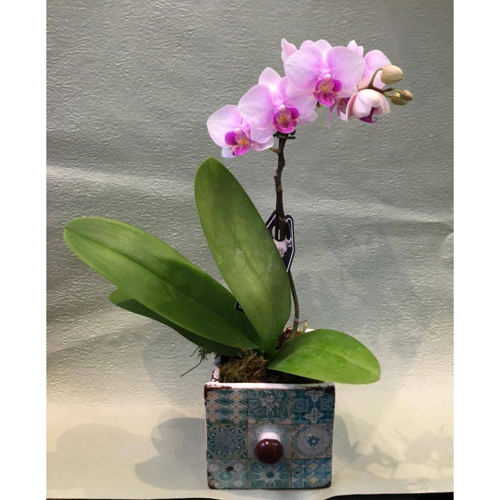 PL0001 - Light purple phalaenopsis