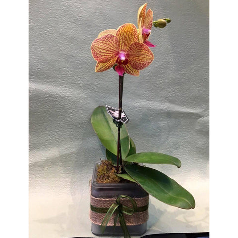 PL0002 - Dark orange phalaenopsis