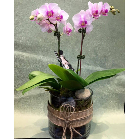 PL0003 - Double Medium phalaenopsis