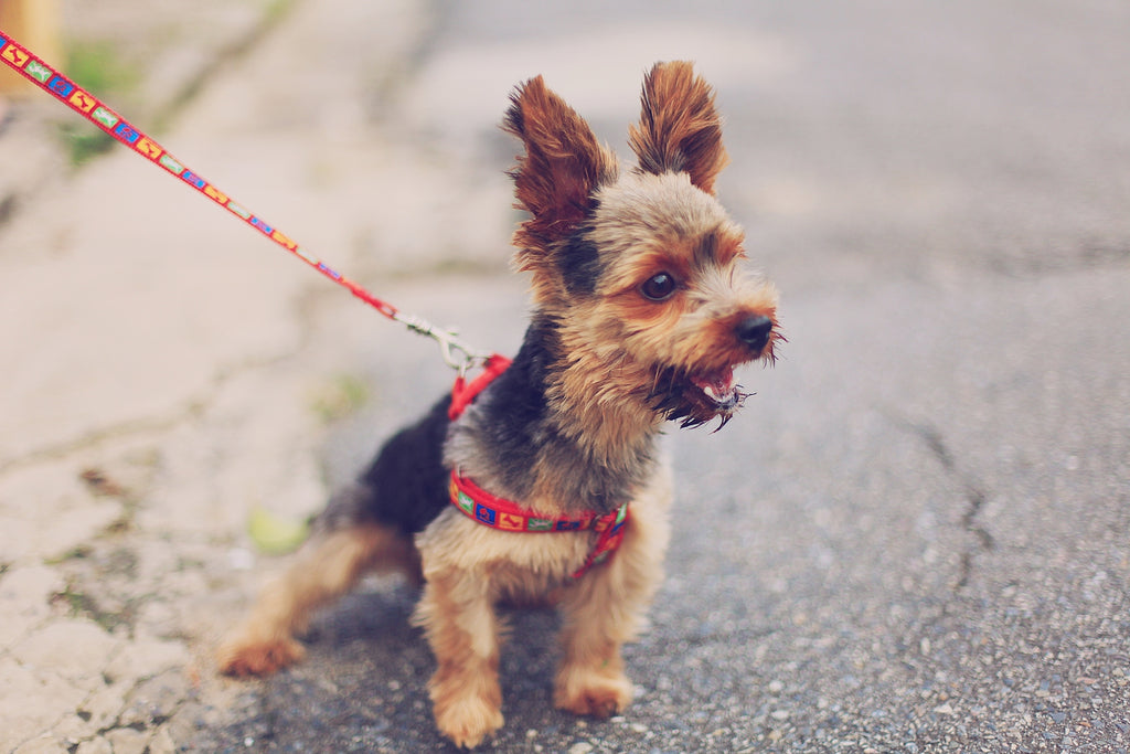 Yorkshire terrier on a red leash