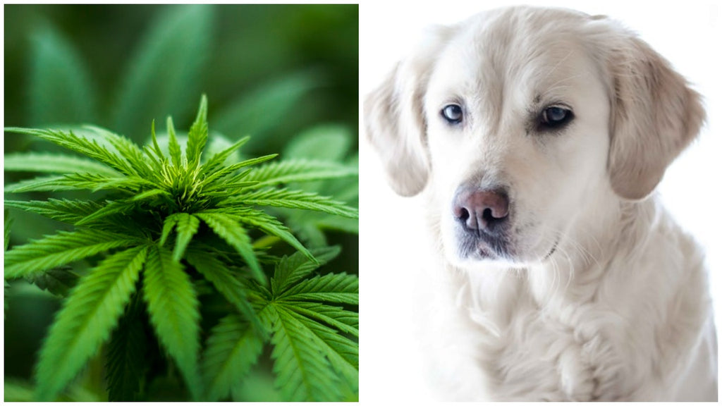 CBD oil for pets: all you need to know