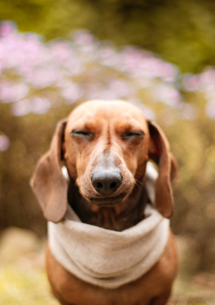 A brown Dachshund wearing a beige neckerchief looks bothered with his eyes semi-closed