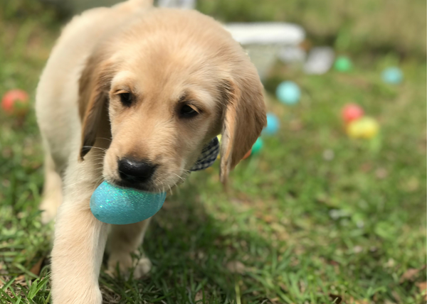 Puppy golden retriever on an easter egg hunt, holding a blue egg in his mouth.