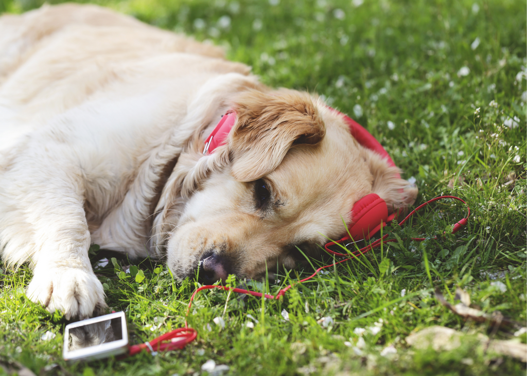 A labrador is laying on the grass. He has red headphones on attached to a phone and he is listening to music. He appears relaxed.
