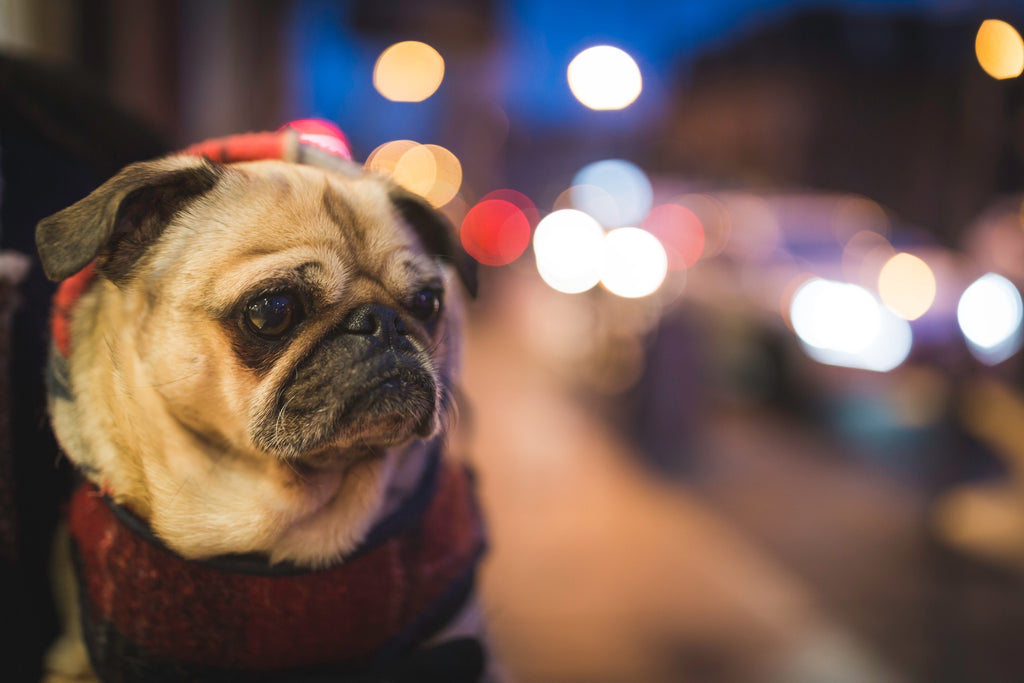 Pug wearing a jumper with night city lights- Staying safe on winter walks Doggy Grub Blog