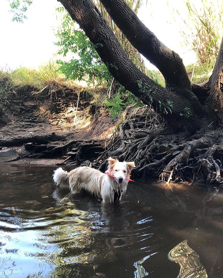 Top 5 dog walking spots in Adelaide- Doggy Grub Blog- Dog in a creek