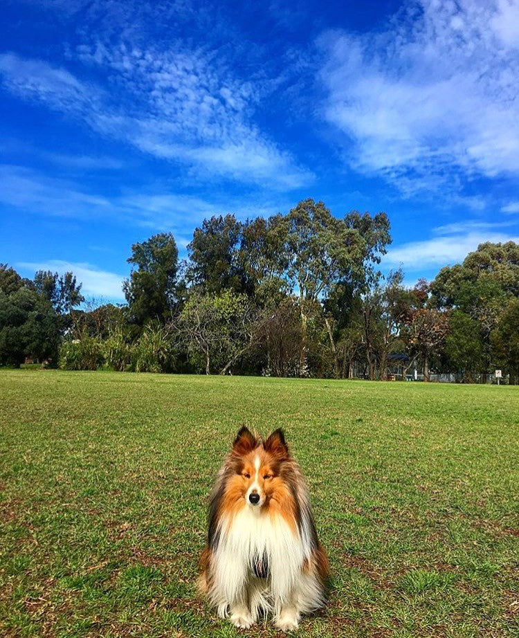 Top 5 dog walking spots in Adelaide- Doggy Grub blog- Sheltie dog