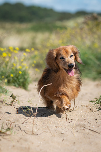 Small brown dog walking in the sand dunes- Seasonal allergies- Doggy Grub Blog