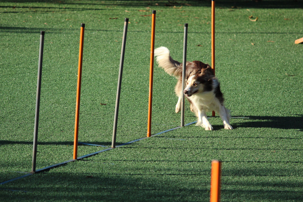 Agility course and benefits of enrichment activities for dogs- Doggy Grub