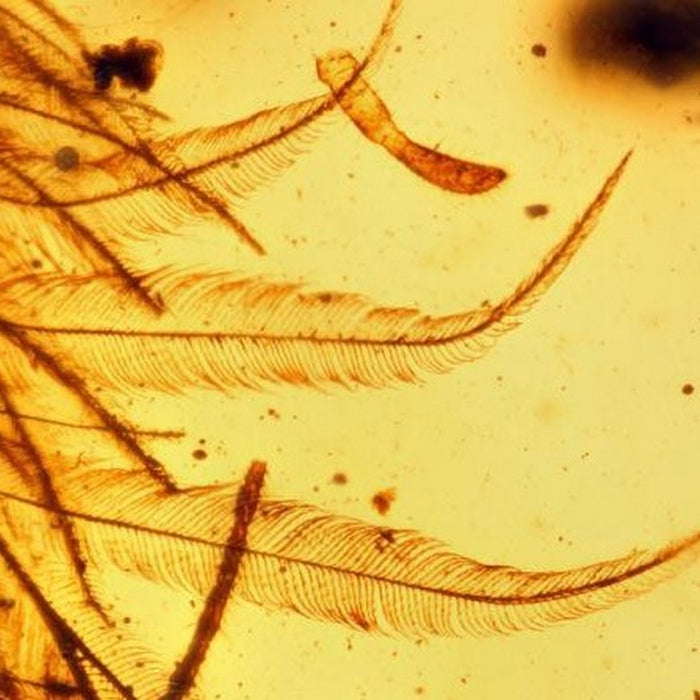 Dinosaur Feathers Discovered in Amber!