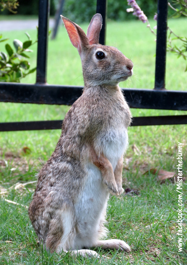 What is So Special about a Wild Eastern Cottontail?