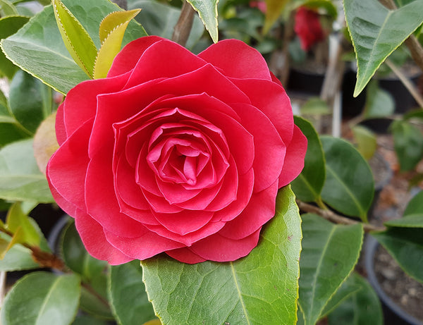 The special powers of camellia (tsubaki) oil