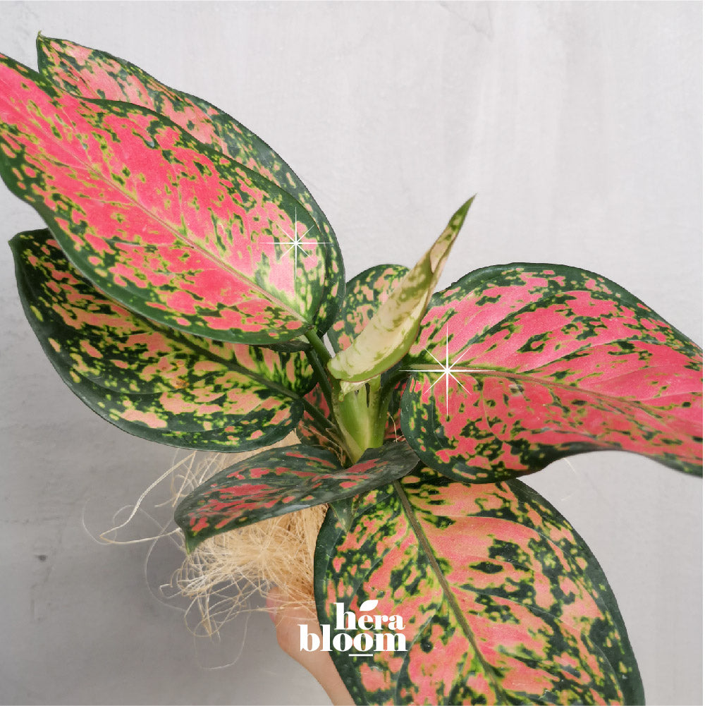 Aglaonema Ruby Plant Gift - Hera Bloom