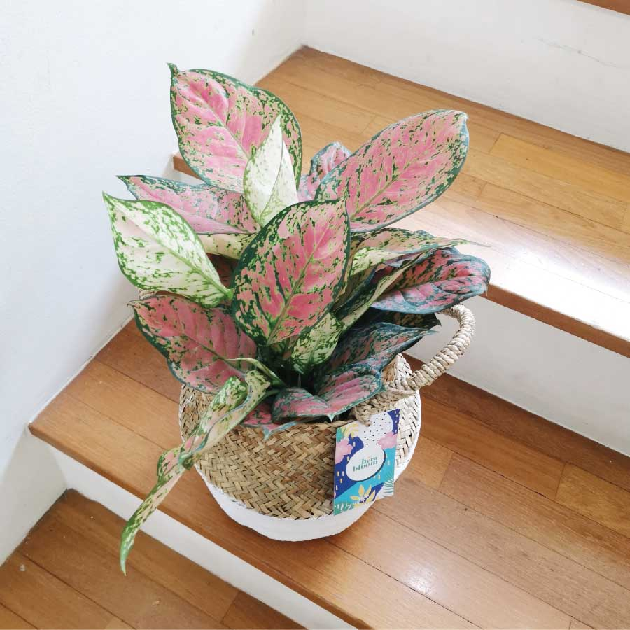 Aglaonema Ruby 2 Stems Plant Gift - Hera Bloom