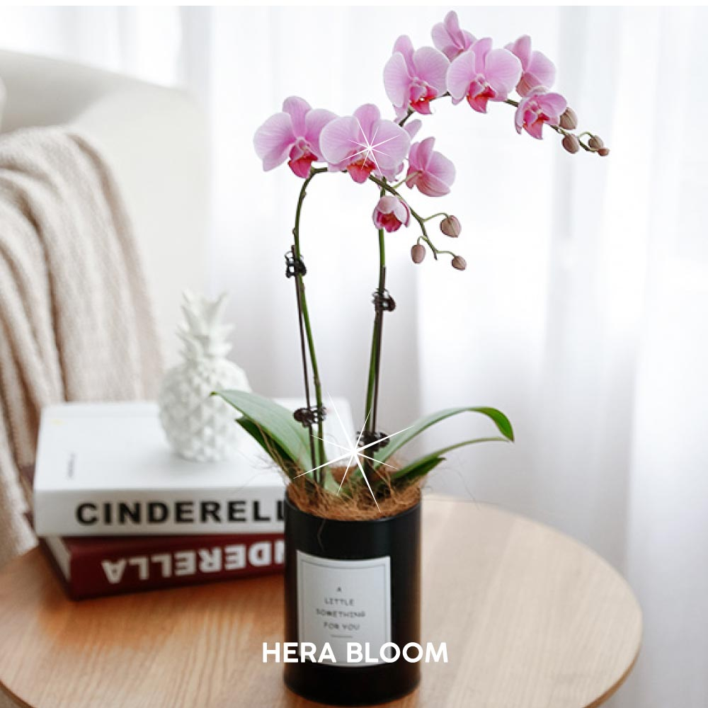 Pink Potted Orchid (Black) - Hera Bloom
