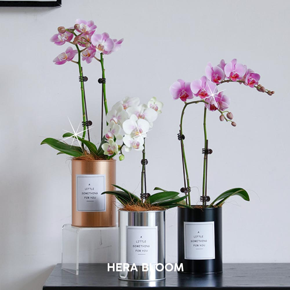 Potted Orchid Set - Hera Bloom