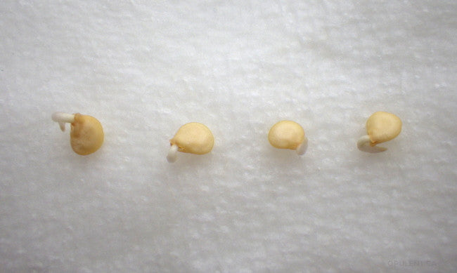 New to growing peppers? Read How To Germinate Your Pepper Seeds In Paper Towel.