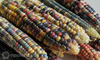 Glass Gem Corn Seeds Canada Opulent Kernels