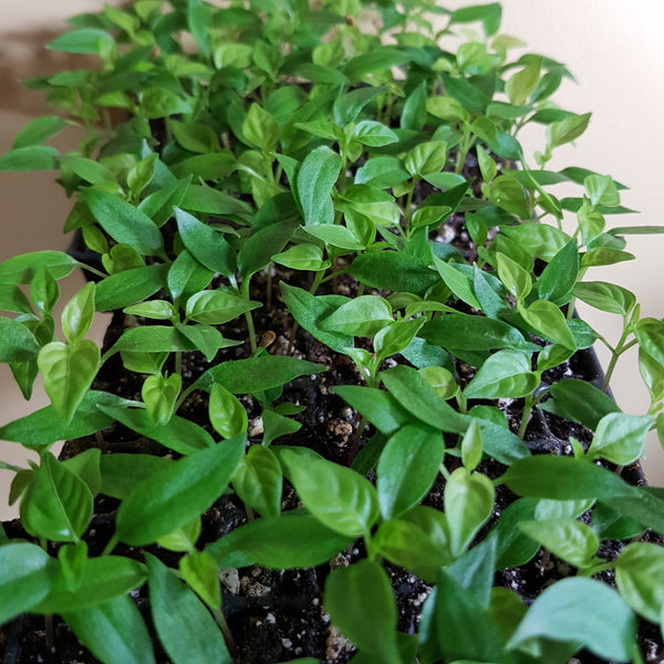 'Super Chili' Hot Pepper Seedlings