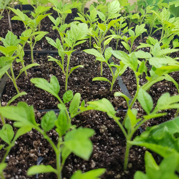 'Ildi' Cherry Tomato Seedlings