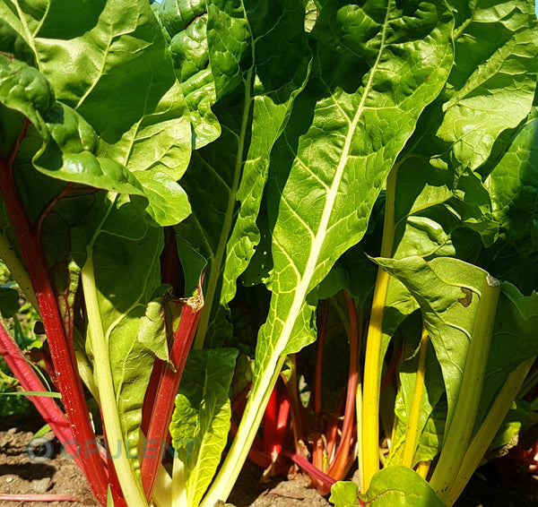 Sample - Swiss Chard - 'Bright Lights'  Seeds - AAS Award Winner