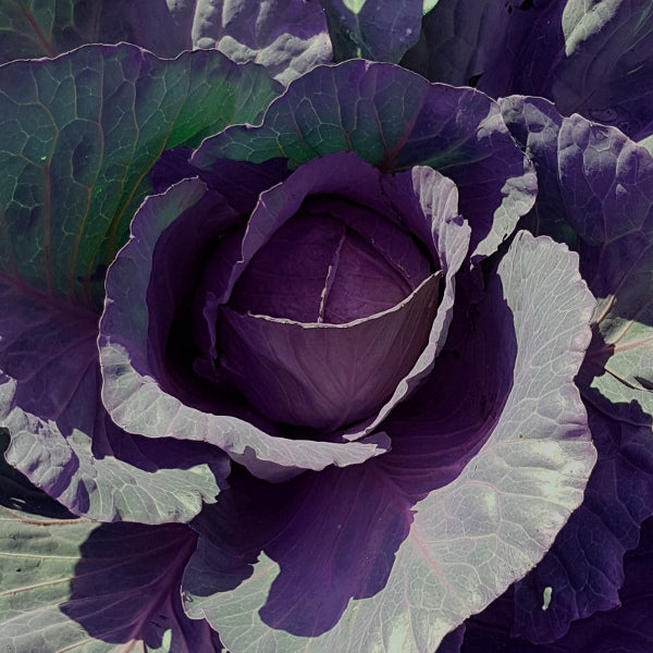 Cabbage - 'Red Acre' Seeds