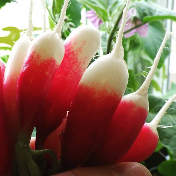 Radish - 'French Breakfast' Seeds