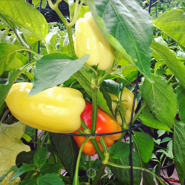 Sweet Pepper - Alba Regia