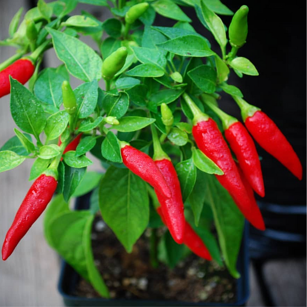 Opulent Seeds Super Chili Chilli F1 Hybrid Hot Pepper Natural Beans