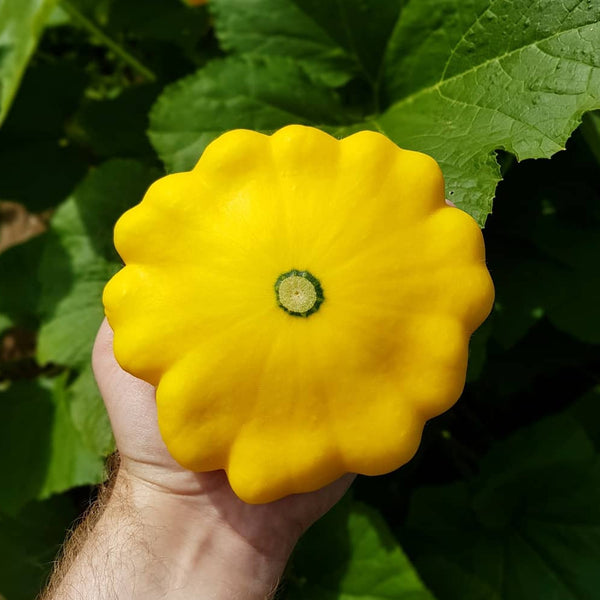 Summer Squash - ' Sunburst' Seeds - AAS Winner
