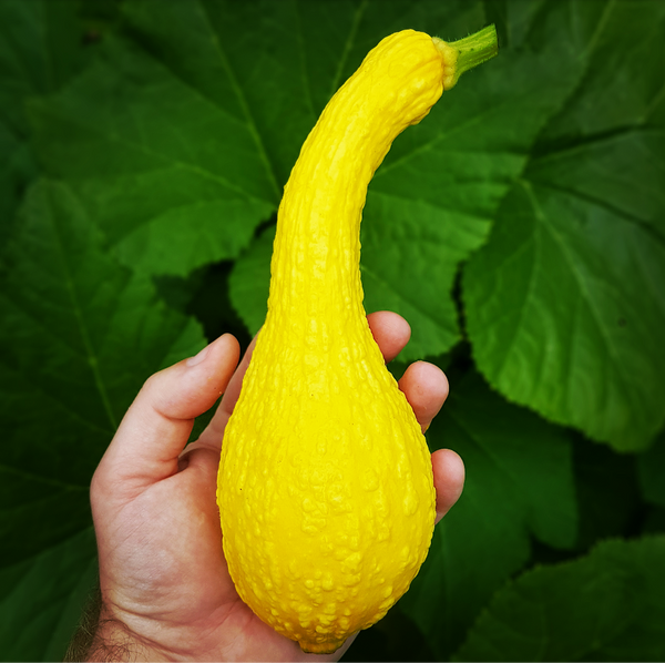 Summer Squash - 'Early Golden Crookneck' Seeds